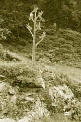 Gamsbaum